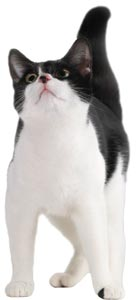 Image of a black and white cat
