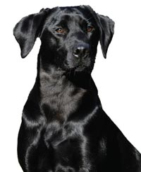 Wellness Core Black Laborador Retriever