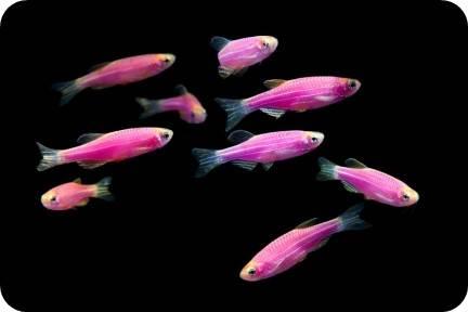 glofish danio