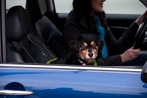 The Cocoon basket can be used as a car seat or booster seat (with additional leash set)