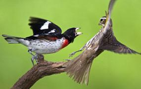 Angry Birds: Rose-Breasted Grosbeak