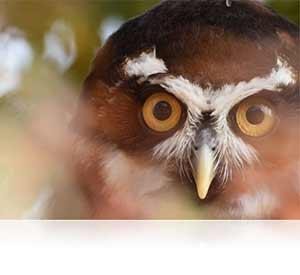 1 NIKKOR VR 70-300 f/4.5-5.6 lens photo of an owl showing NIKKOR quality