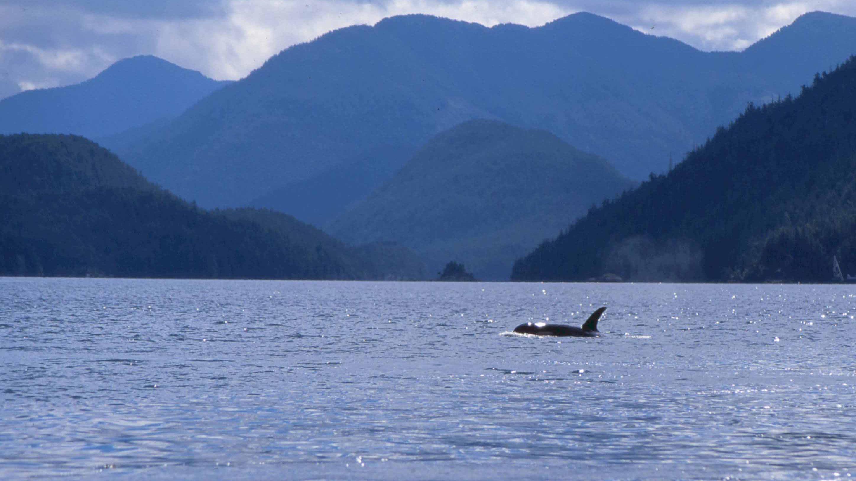 Luna Killer Whale Vancouver Island