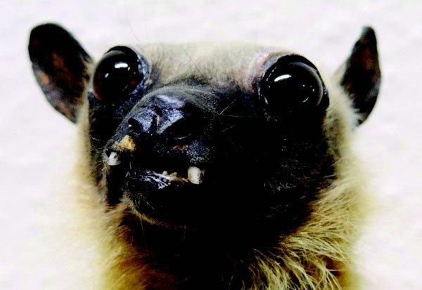 Snaggletoothed Bat