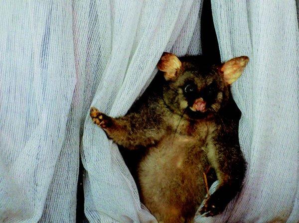 Curtain-Twitching Opossum