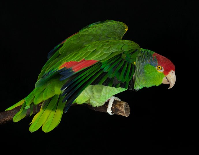 Amigo, Red-headed Amazon parrot