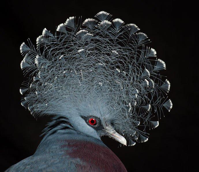 Coffee & Wing, Victoria crowned Pigeons