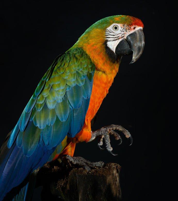 Mylie, Catalina macaw