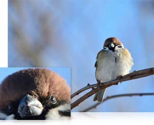 Nikon D7100 photo of a bird on a branch and close up of its face showing high resolution