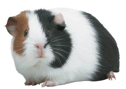 Kaytee Guinea Pig
