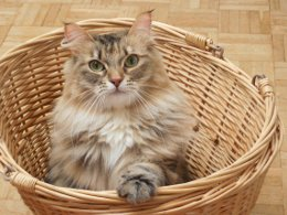 Picture of a persian cat sitting in a wicker waste paper basket.