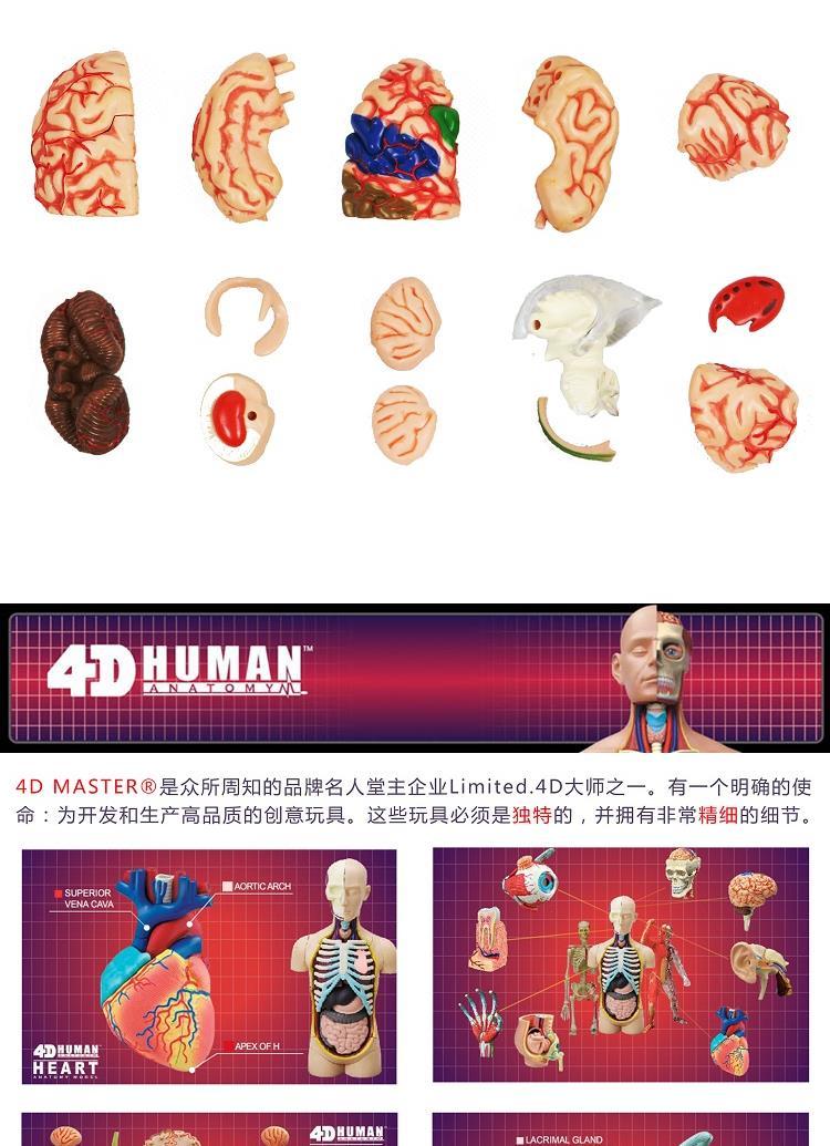 人体仿真拼装模型-大脑结构拼装26056